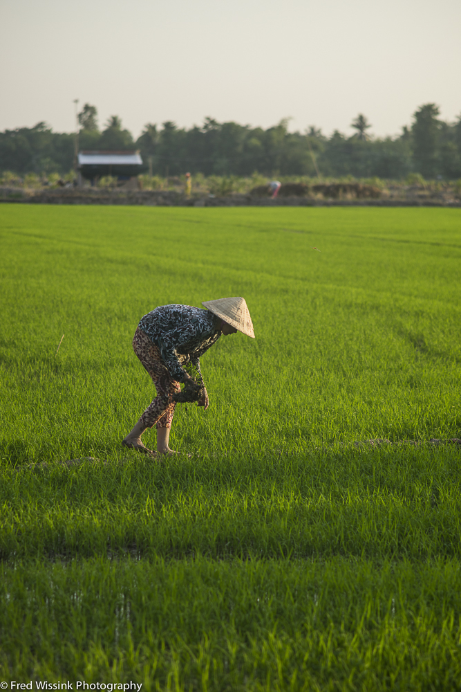 A woman picks rice